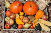 pic of indian apple  - Pumpkins apples pears tomatos and straw on a wooden plate - JPG