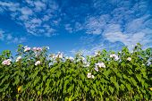 stock photo of ipomoea  - Ipomoea carnea or morning glory flower on tree against blue sky - JPG