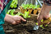 stock photo of pot plant  - Farmer planting young seedlings of lettuce salad in the vegetable garden - JPG