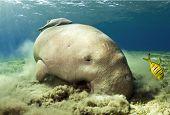 stock photo of sea cow  - dugong aka sea cow eating sea grass  - JPG