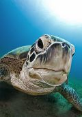 stock photo of sea-turtles  - green sea turtle resting on the bottom - JPG