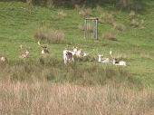stock photo of caribou  - A group of Reindeer or caribou  relaxing on a grassy bank in Derbyshire.