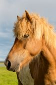 picture of iceland farm  - Icelandic horse head in closeup with beautiful sunset light - JPG