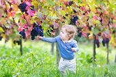 stock photo of vines  - Cute Baby Girl Eating Fresh Ripe Grapes In A Beautiful Sunny Autumn Vine Yard - JPG