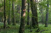 stock photo of linden-tree  - Old oaks in summer misty deciduous stand of Biaowieza Forest with old linden tree in foreground - JPG