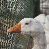 pic of crested duck  - Still blue eyed duck close up square image - JPG
