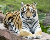 foto of tigers-eye  - close up of a tiger making eye contact - JPG