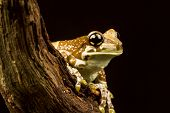 stock photo of amazonian frog  - Mission golden - JPG