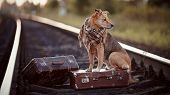 stock photo of runaway  - Dog on rails with suitcases - JPG
