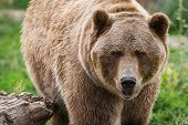 picture of grizzly bear  - close up of an adult grizzly bear on green grass - JPG