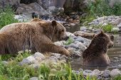 image of grizzly bear  - adult grizzly bear enjoying time in a pond filled with water - JPG