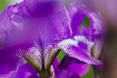 stock photo of stamen  - Stamens on the leaf of a purple iris - JPG