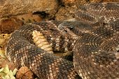 image of venomous animals  - Portrait of a Southern Pacific Rattlesnake - JPG