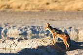 stock photo of jackal  - Black backed jackal observe water hole Namibia Etosha National Park Africa - JPG