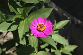picture of zinnias  - pink Zinnia flower, Zinnia flower in full bloom.