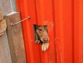 stock photo of hasp  - Red dog peeking through window in orange dirty gate - JPG