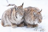 ������, ������: Two Watchful Lynx