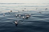 pic of flock seagulls  - Seagulls in the sea at the sunset - JPG