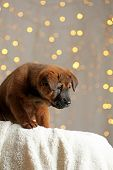 foto of christmas puppy  - Cute puppy on Christmas lights background - JPG