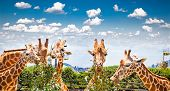 stock photo of zoo  - Giraffes at Taronga Zoo - JPG
