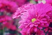 image of chrysanthemum  - Pink Chrysanthemum flowers in park soft focus and blurred bacground etro and vintage tone - JPG