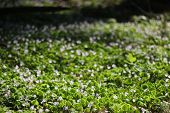 image of sorrel  - Wood Sorrel in a forest near Greifswald Mecklenburg - JPG