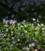 stock photo of sorrel  - Wood Sorrel in a forest near Greifswald Mecklenburg - JPG