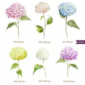 picture of hydrangea  - Beautiful watercolor vector hydrangea set different colors - JPG