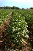 picture of century plant  - Potato plants on a field set in rows - JPG