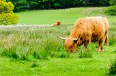 pic of highland-cattle  - Scottish Highland Cows grazing in green field