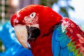 picture of cockatoos  - Closeup of head portrait of Red Macaw or Ara cockatoos parrot - JPG