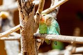 picture of parrots  - Peach - JPG