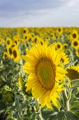 image of sunflower  - Sunflower Species Helianthus annuus crop landscape Andalusia. Southern Spain. The sunflower is an annual plant grown as a popular crop for its edible oil and edible fruits.