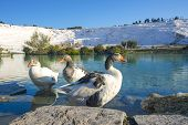 picture of thermal  - Ducks on thermal pools at pamukkale turkey - JPG