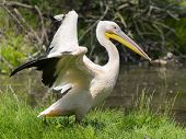 stock photo of swamps  - Great white pelican  - JPG