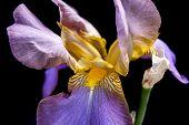 stock photo of purple iris  - Close up of a studio image of purple irises - JPG
