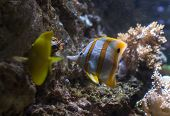 stock photo of butterfly fish  - Yellow tang fish and a copperband butterfly fish within a colorful seascape - JPG
