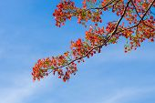 pic of royal botanic gardens  - Royal Poinciana Flamboyant Flame Tree in the blue sky - JPG