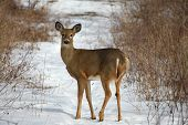 image of deer head  - White - JPG