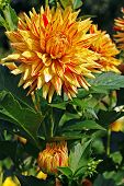 Yellow-red Dahlia Flower In The Botany Garden poster