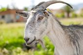 gray domestic goat poster