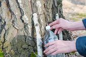 Collection Of Birch Sap. Collect Juice From Birch. Man Collect The Juice With Birch. poster