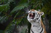 Close Up Front Portrait Of One Young Siberian Tiger (amur Tiger, Panthera Tigris Altaica) Roaring, L poster