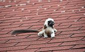 Close Up Portrait Of One Small Cotton-top Tamarin (saguinus Oedipus) Monkey Sitting On The Roof And  poster