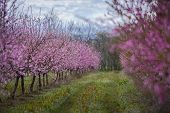 Beautiful Flowered Field Of Cherry poster