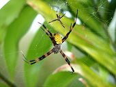image of baby spider  - Two red and yellow Argiope Spiders in their web - JPG