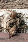 Постер, плакат: Two Big Burgundy Snails helix Roman Snail Edible Snail Escargot Crawling On The Trunk Of Old Bi
