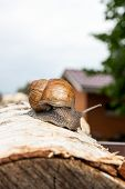 Постер, плакат: Burgundy Snail helix Roman Snail Edible Snail Escargot Crawling On The Trunk Of Old Birch Tree