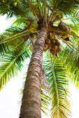 Coconut Tree Or Cocos Nucifera L. At Low Point View. This Is A Tree With Brown Trunk, Many Coconut A poster