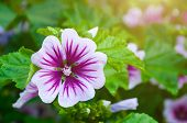 Mallow Flower Or Forest Mallow In Summer Forest Under Soft Sunlight, In Latin Malva Sylvestris. Flow poster